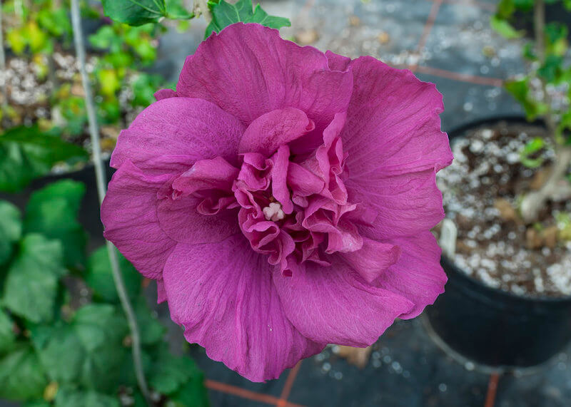 Proven Winners Magenta Chiffon Rose of Sharon flower