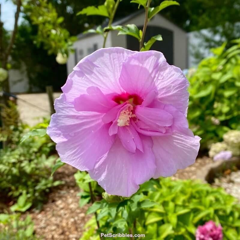 Rose of Sharon Lavender Chiffon ruffled flower