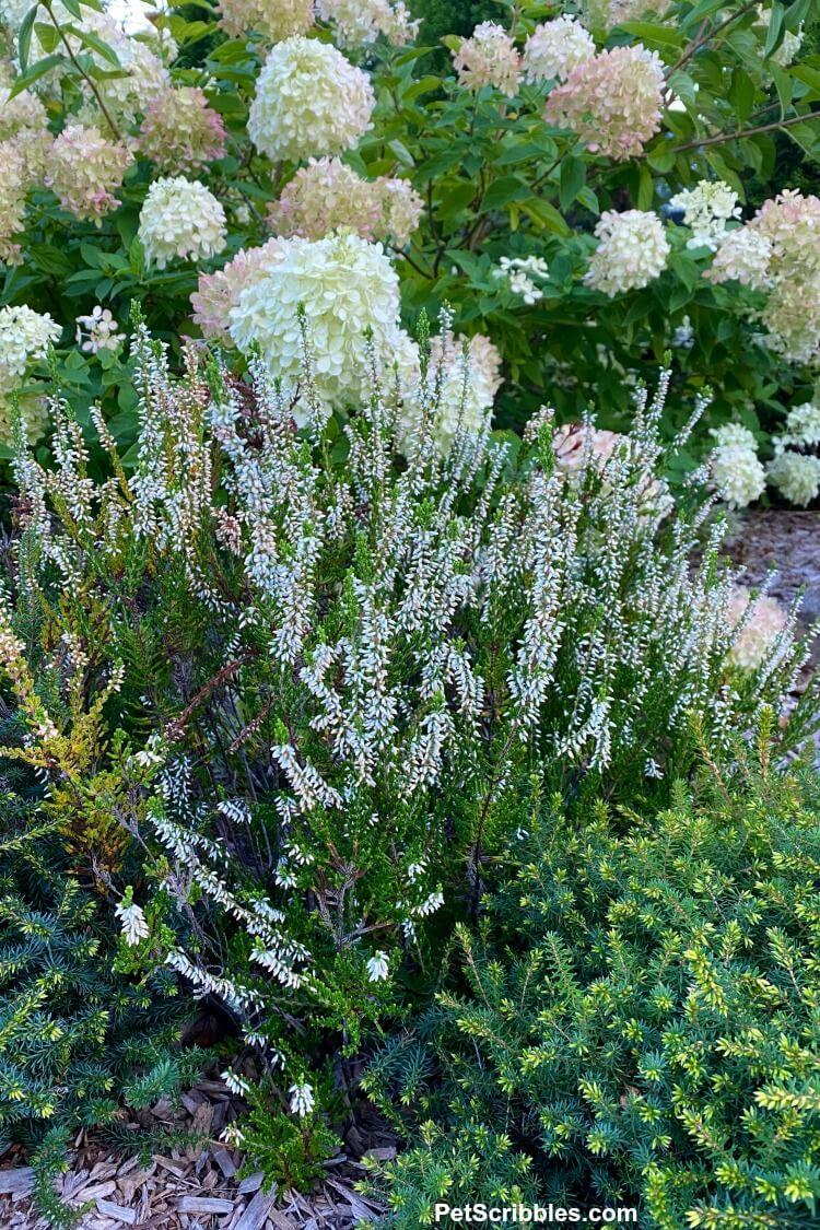 white heather in the garden