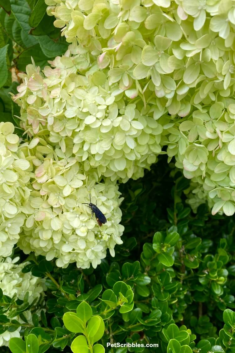 bug resting on little lime hydrangea flowers