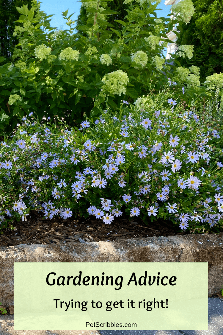 gardening advice: image of pale glue flowers in front of lime-colored hydrangeas