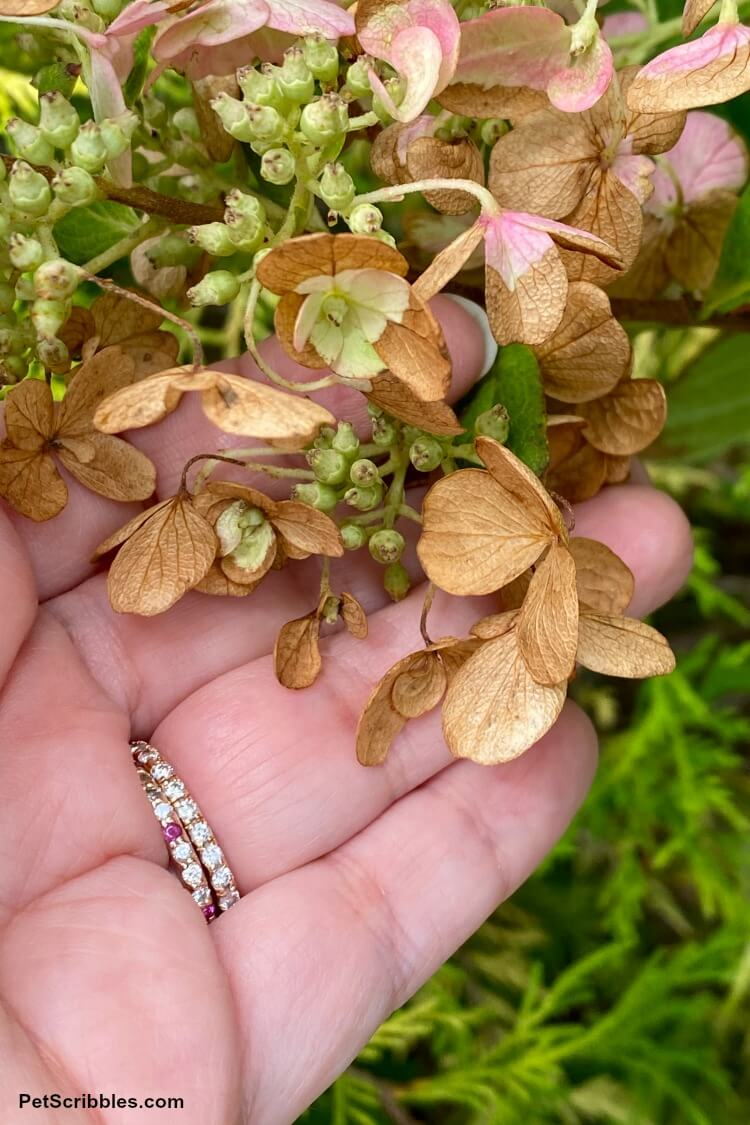 hydrangea petals turning brown after tropical storm