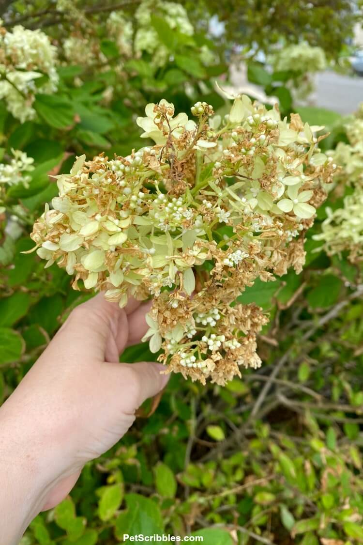 hydrangeas turning brown after tropical storm