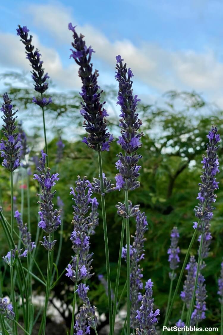 lavender at dusk against the sky
