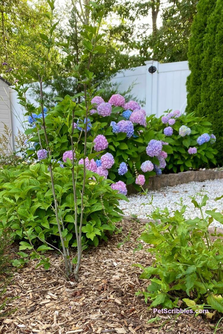 Lavender Chiffon shrub nibbled by rabbits