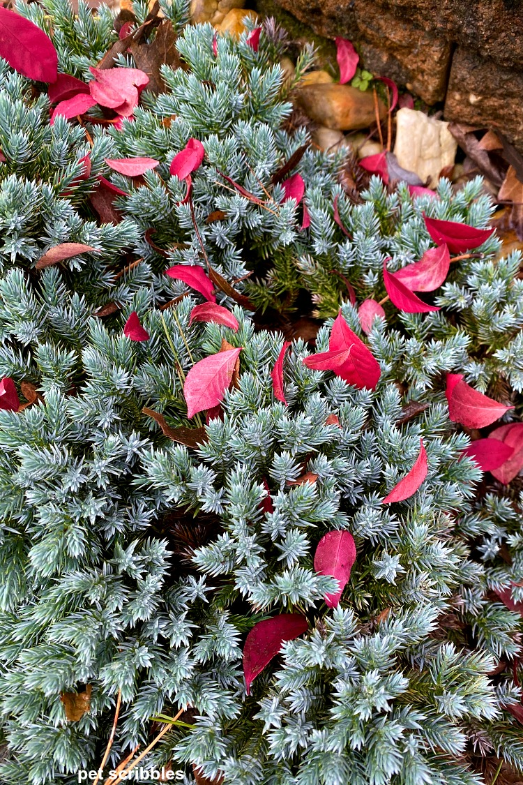 red leaves in Fall resting on top of a blue star juniper shrub