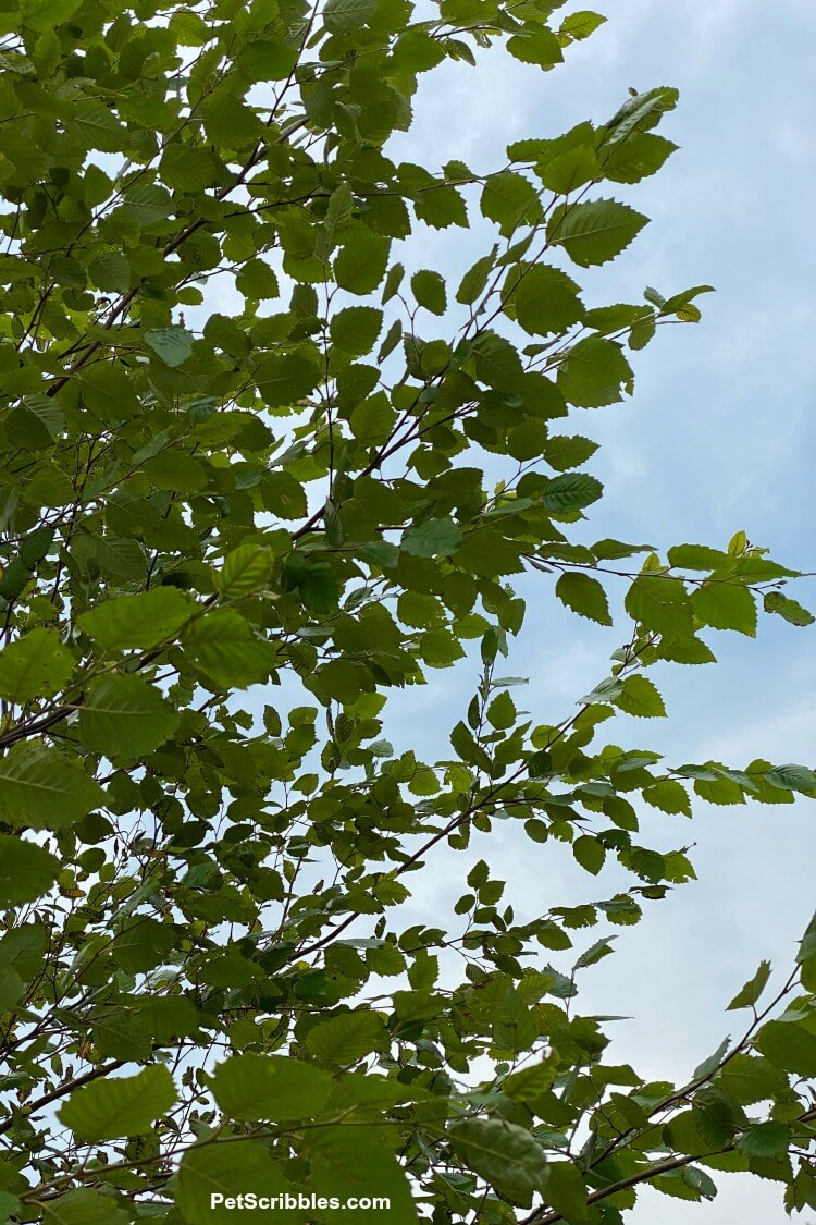 river birch tree leaves against the sky
