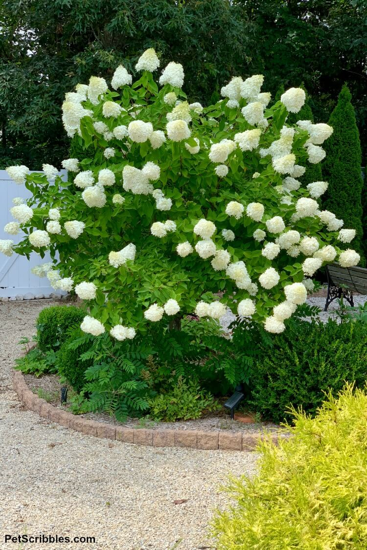a tree form of Limelight Hydrangea Paniculata covered in its pale lime flower heads in mid-Summer
