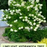 Limelight Hydrangea Tree Care and Pruning