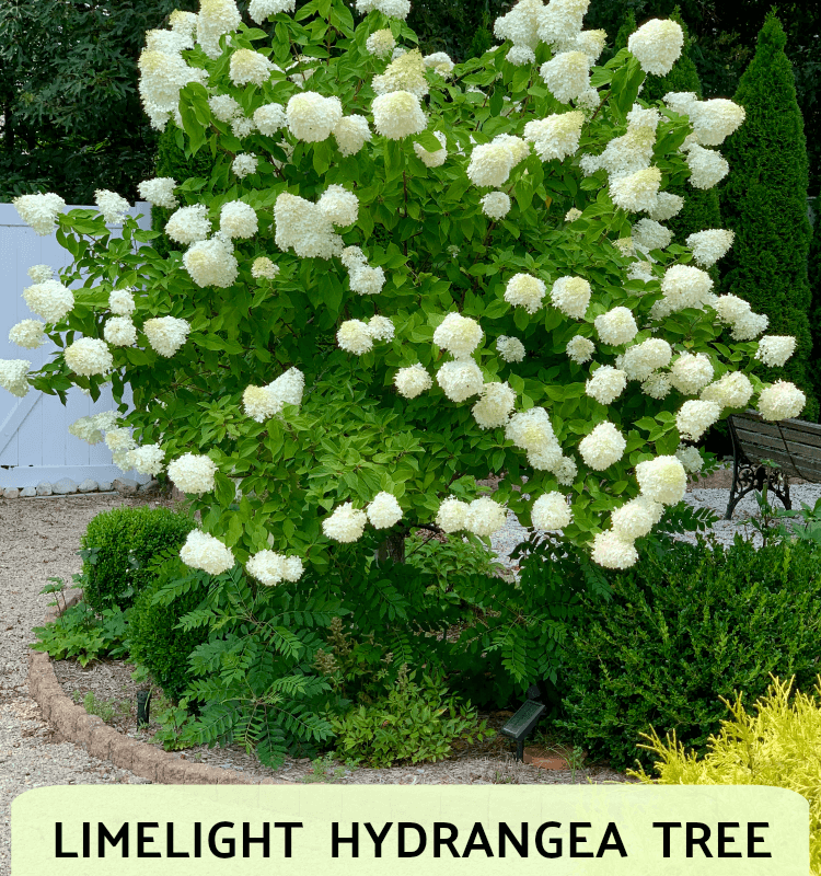 Limelight Hydrangea Tree Care and Pruning Tips