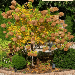 Limelight Hydrangea Tree Fall Color