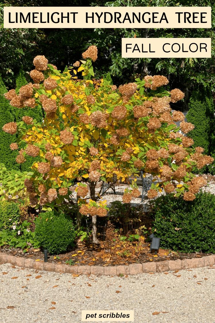 Limelight Hydrangea Tree Fall Color