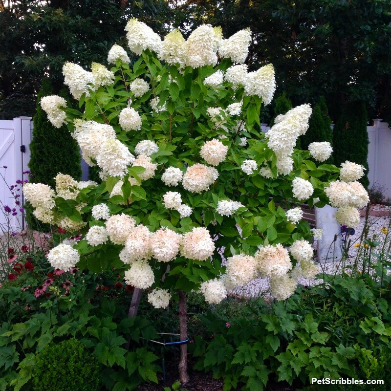 Limelight Hydrangea Tree covered in flowers ranging from pale lime to ivory to partially pink