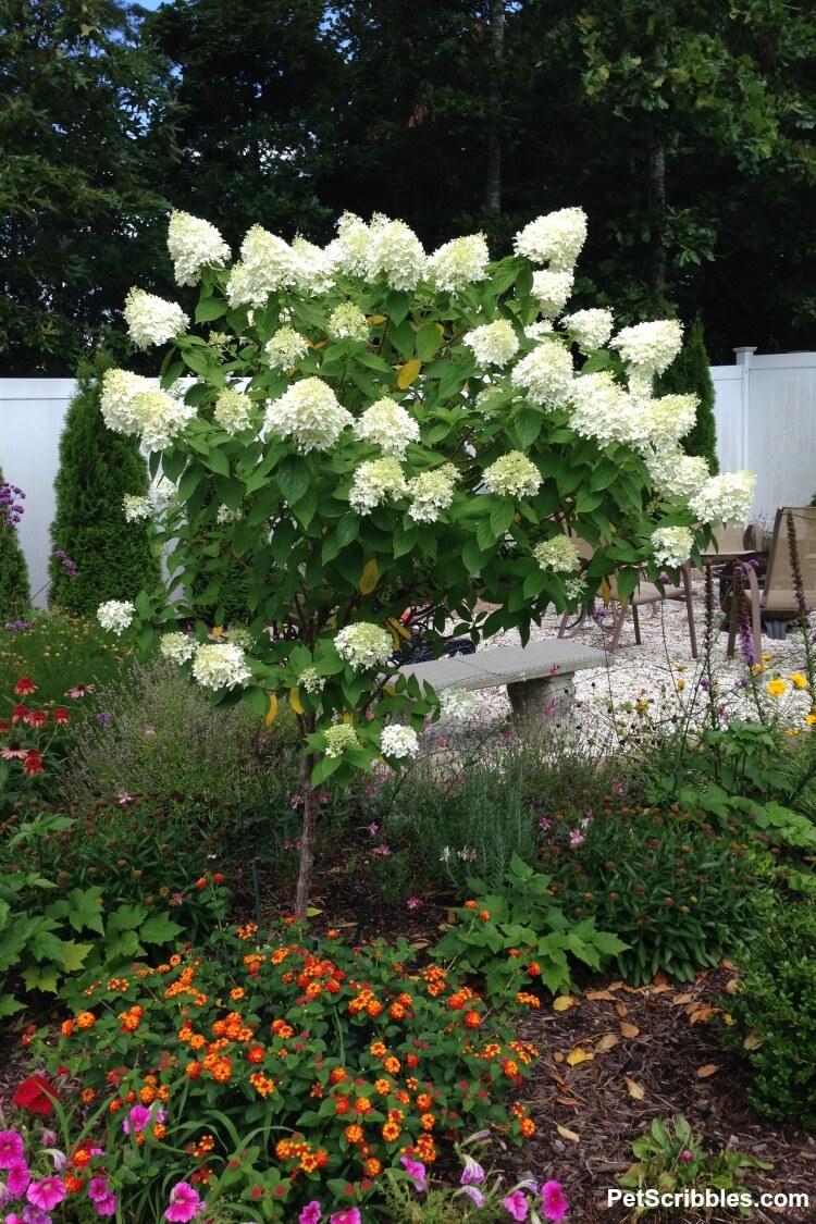 Limelight Hydrangea tree in full bloom
