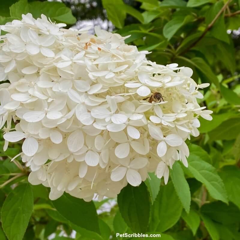 a bee on a white hydrangea flower