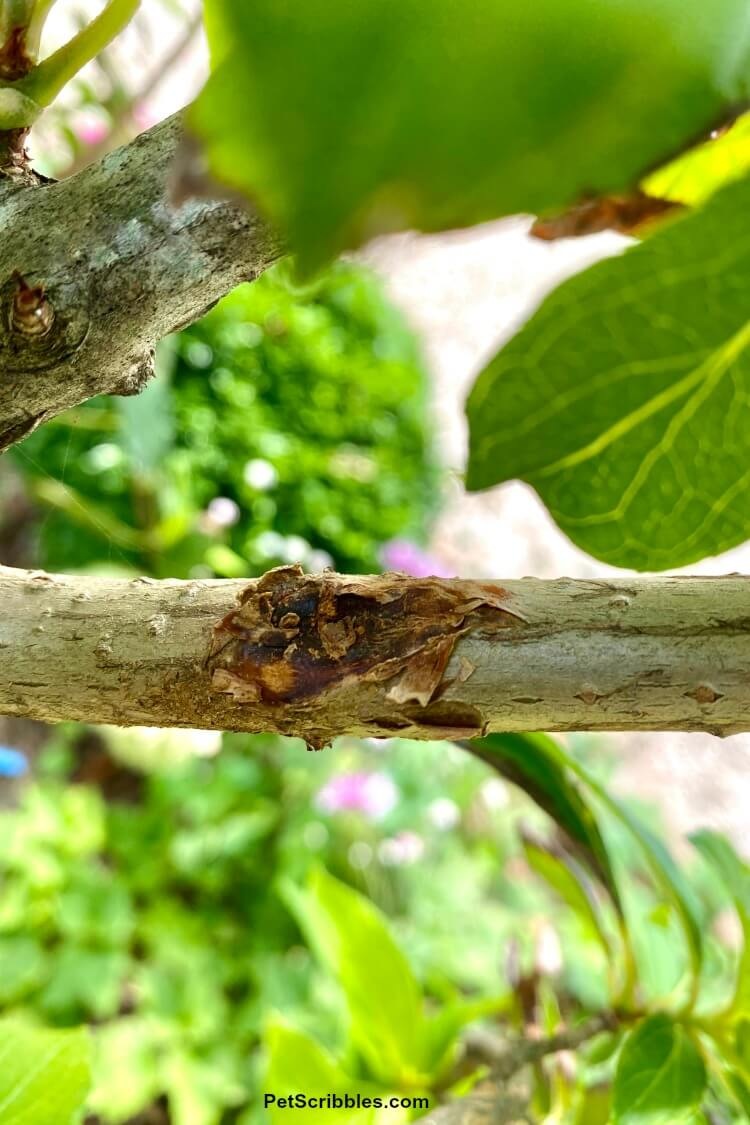 damaged stem on Limelight Hydrangea Tree from crossing branches rubbing against each other