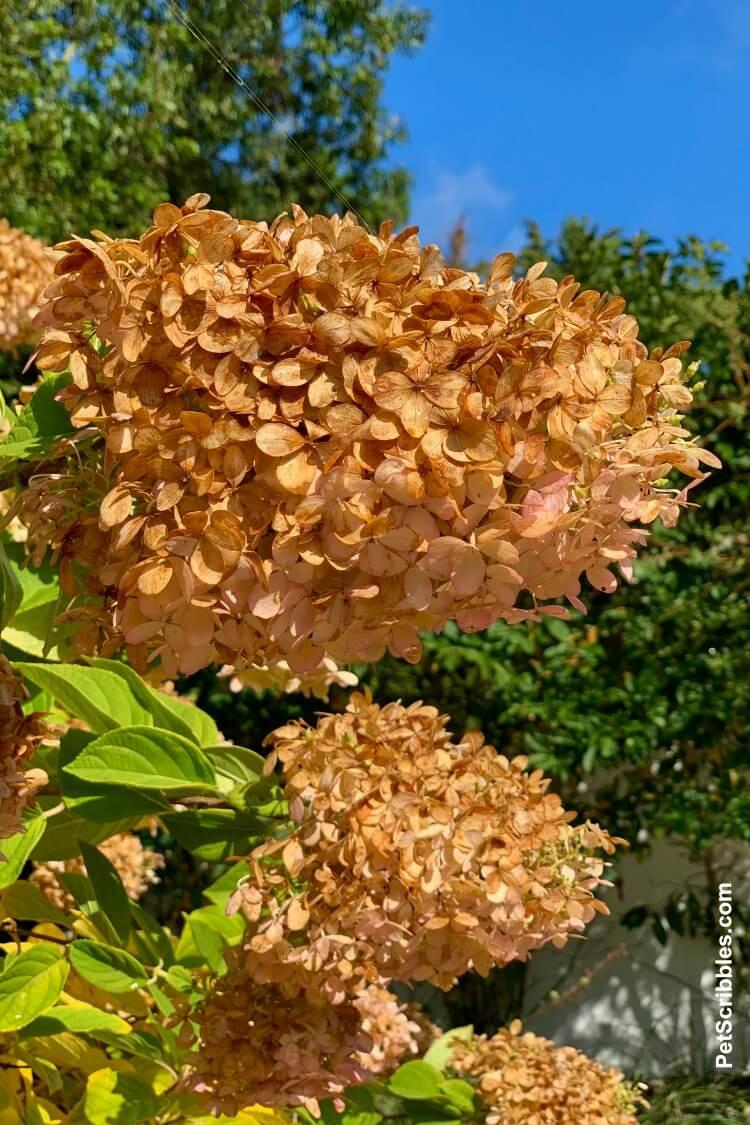 dried Limelight Hydrangea Tree flowers