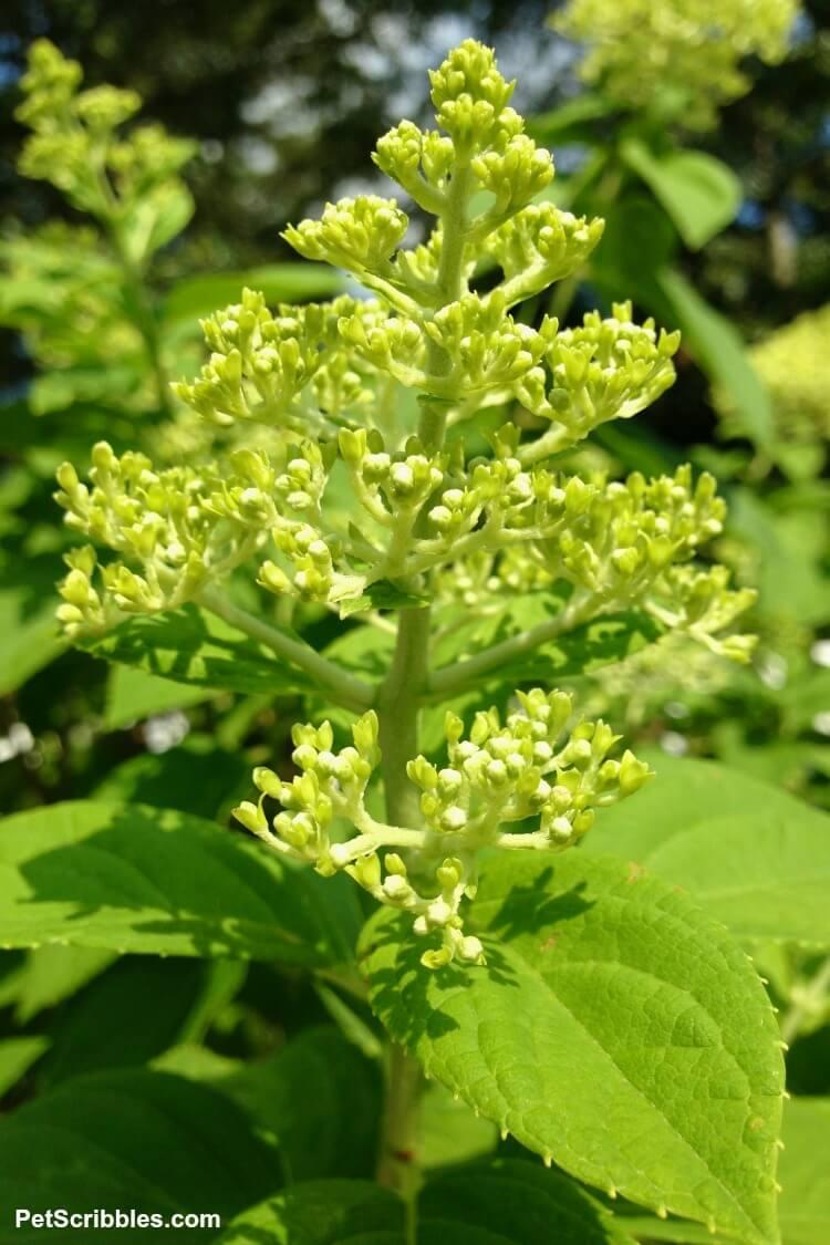 flower buds on limelight hydrangea tree