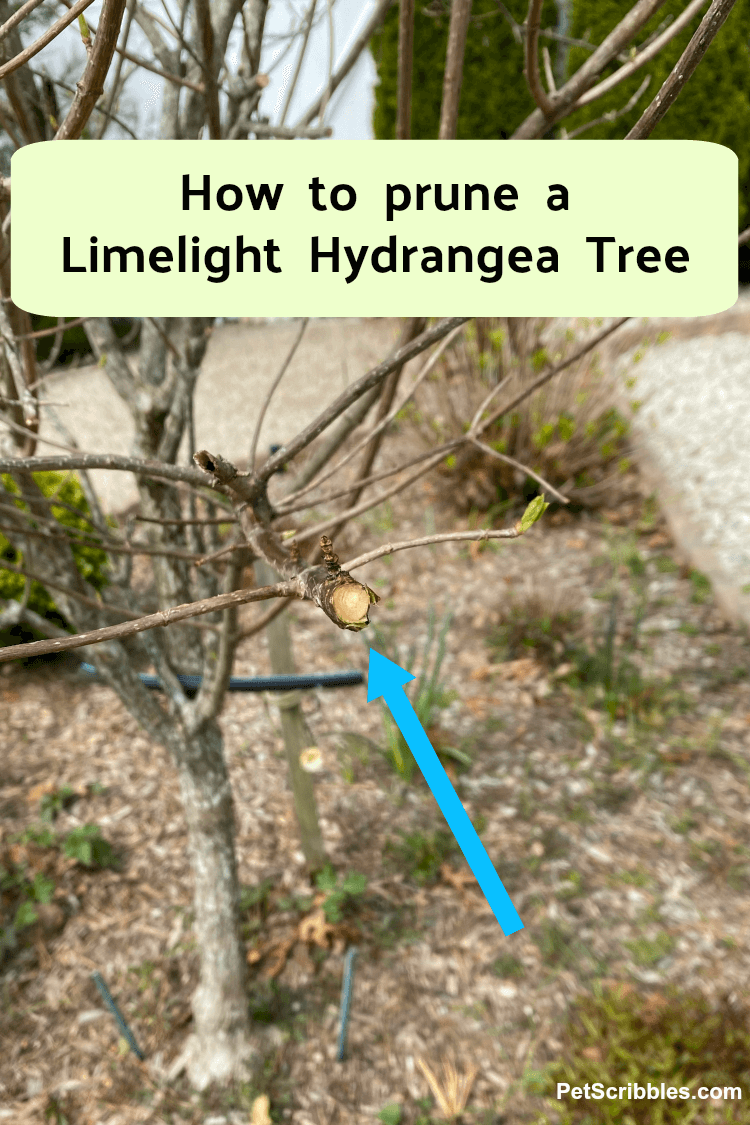 how to prune a Limelight Hydrangea Tree