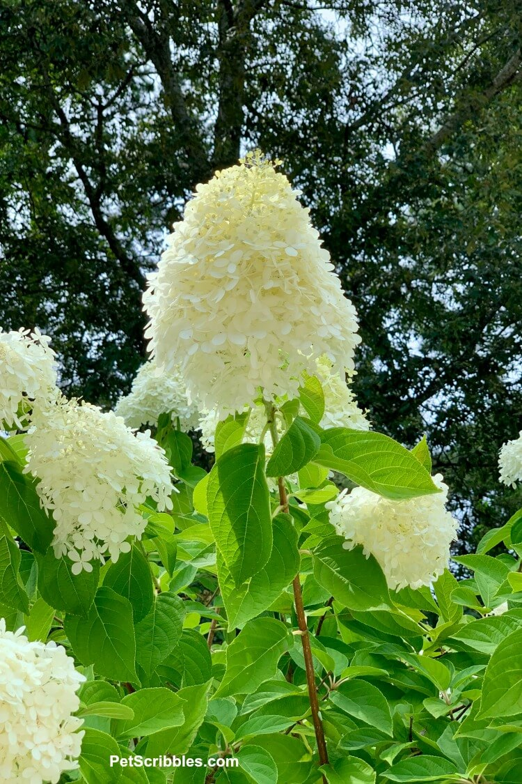 ivory hydrangea tree flower in front of dark green trees and blue sky