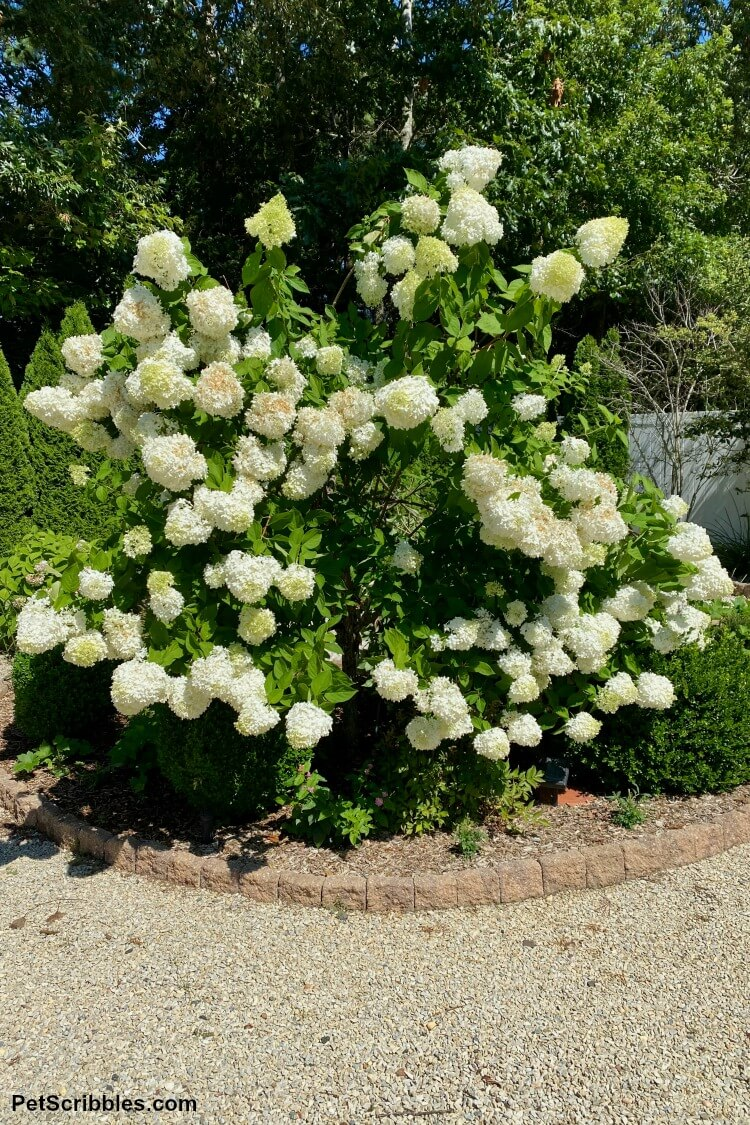 hydrangea tree top heavy with broken branches and heavy blooms
