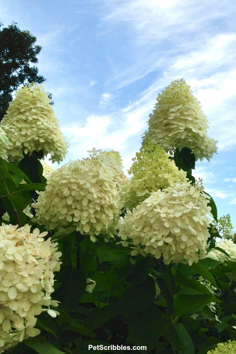 large limelight hydrangea flower heads against a blue sky