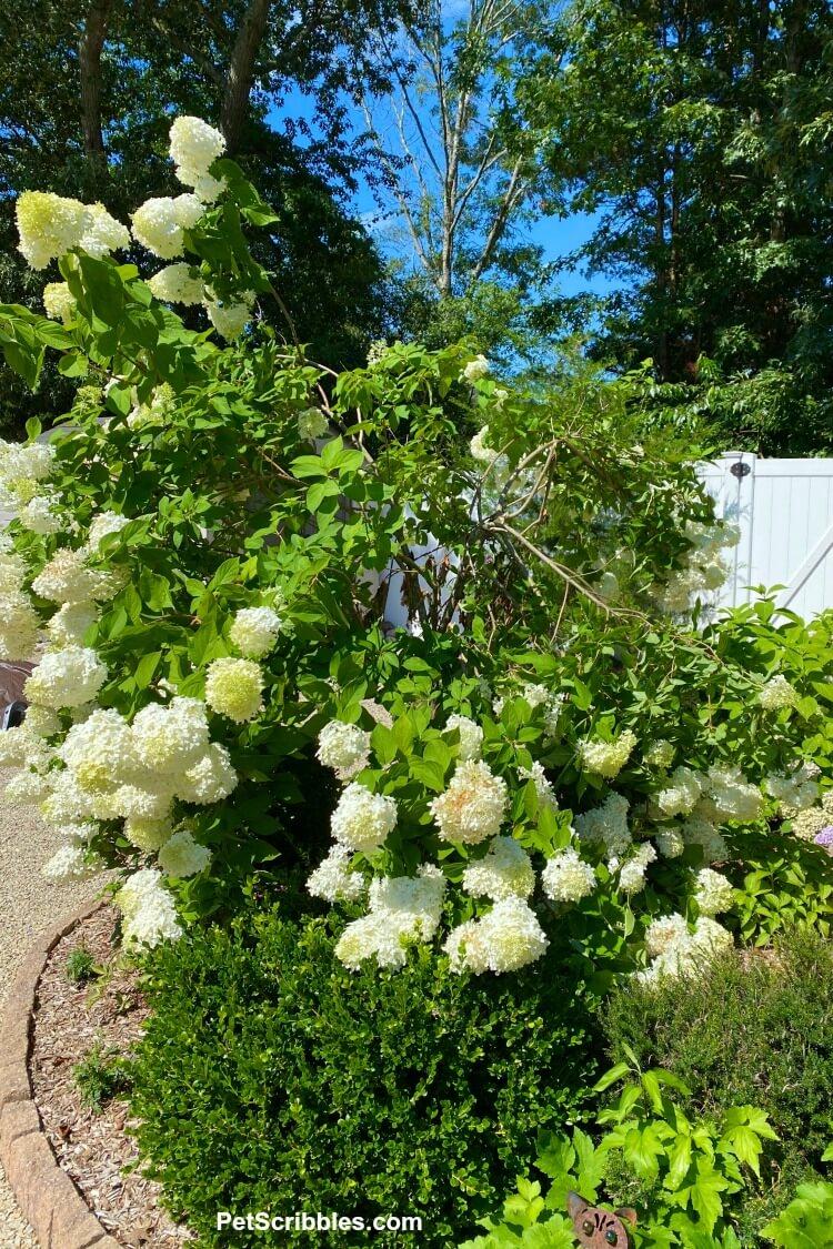 limelight hydrangea tree blooms too heavy