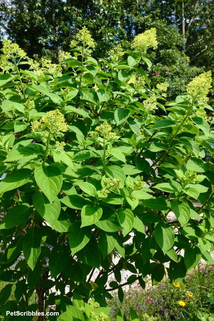 limelight hydrangea tree covered in flower buds
