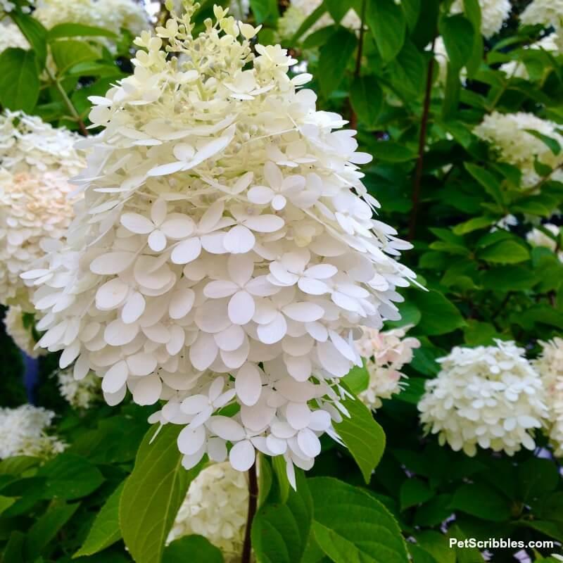 limelight hydrangea tree flower bloom