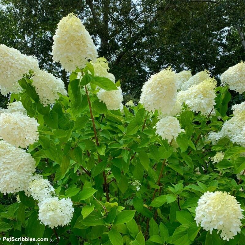 limelight hydrangea tree flowers