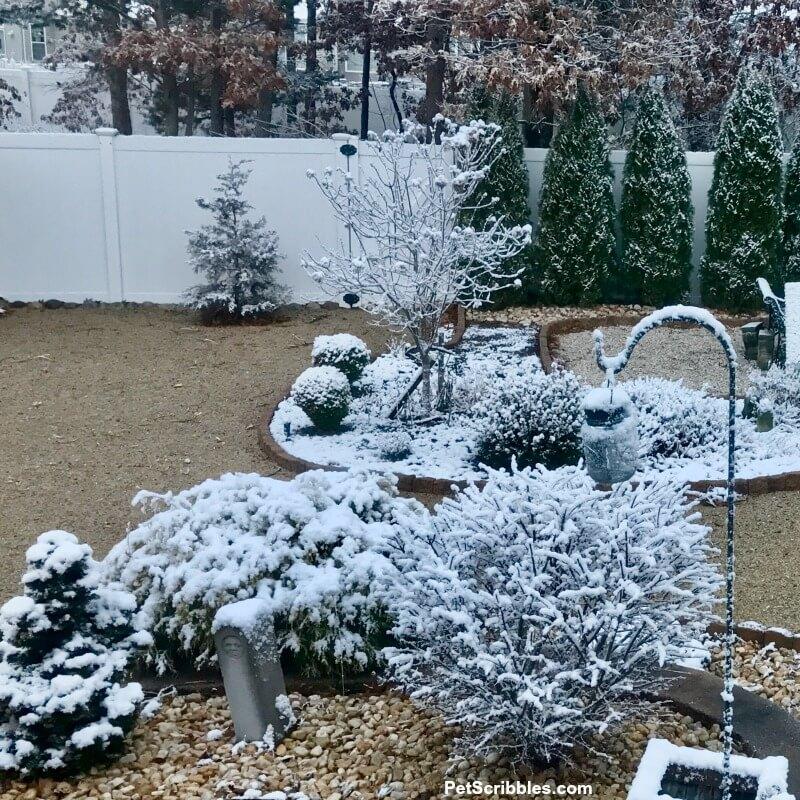 limelight hydrangea tree in Winter