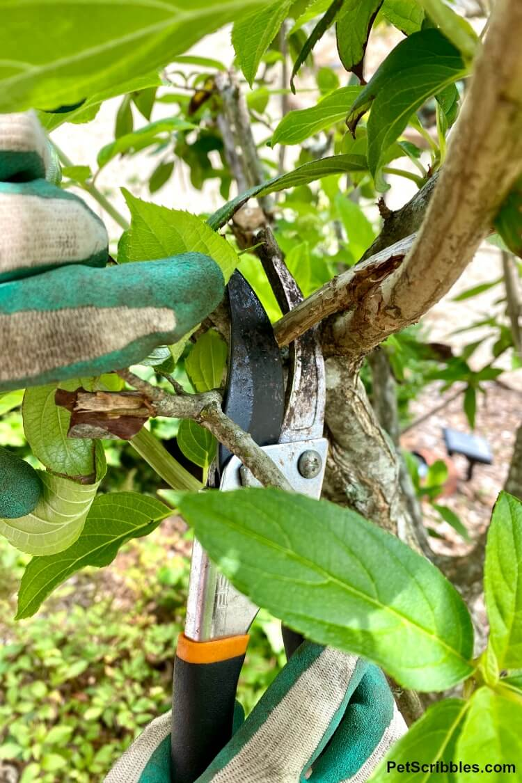 limelight hydrangea tree pruning with hand pruners