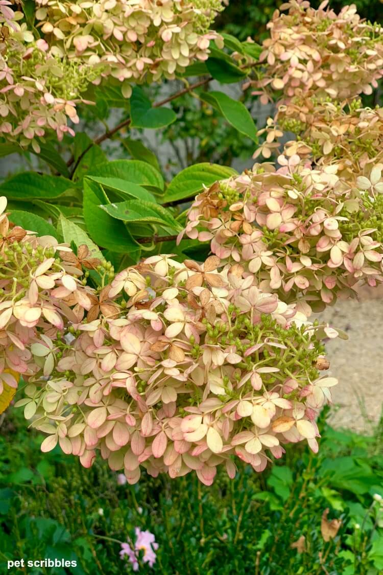 hydrangea flower developing pink tones with some tan as well