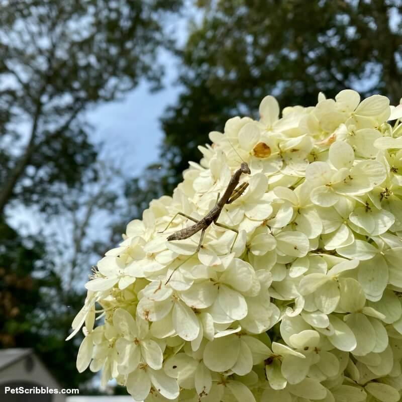 praying mantis on a limelight hydrangea tree flower
