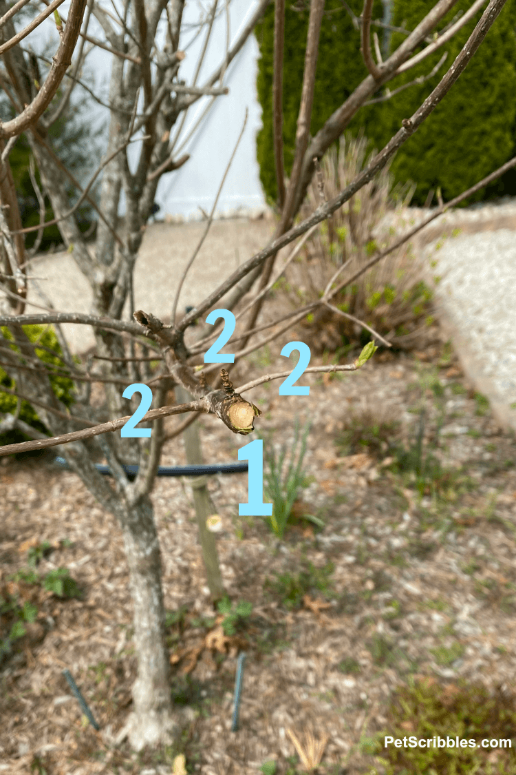 pruning hydrangea tree branches