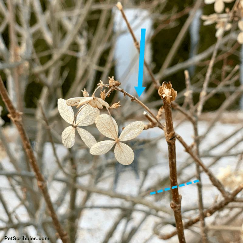 pruning weak stems on hydrangeas