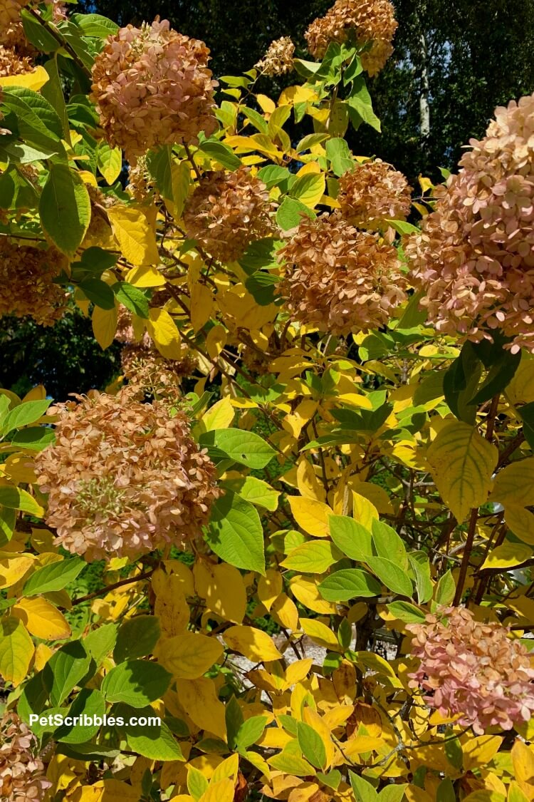 yellow and green limelight hydrangea tree Autumn color