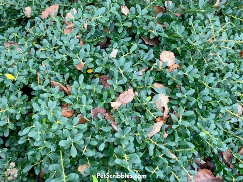 Japanese helleri shrub in Fall