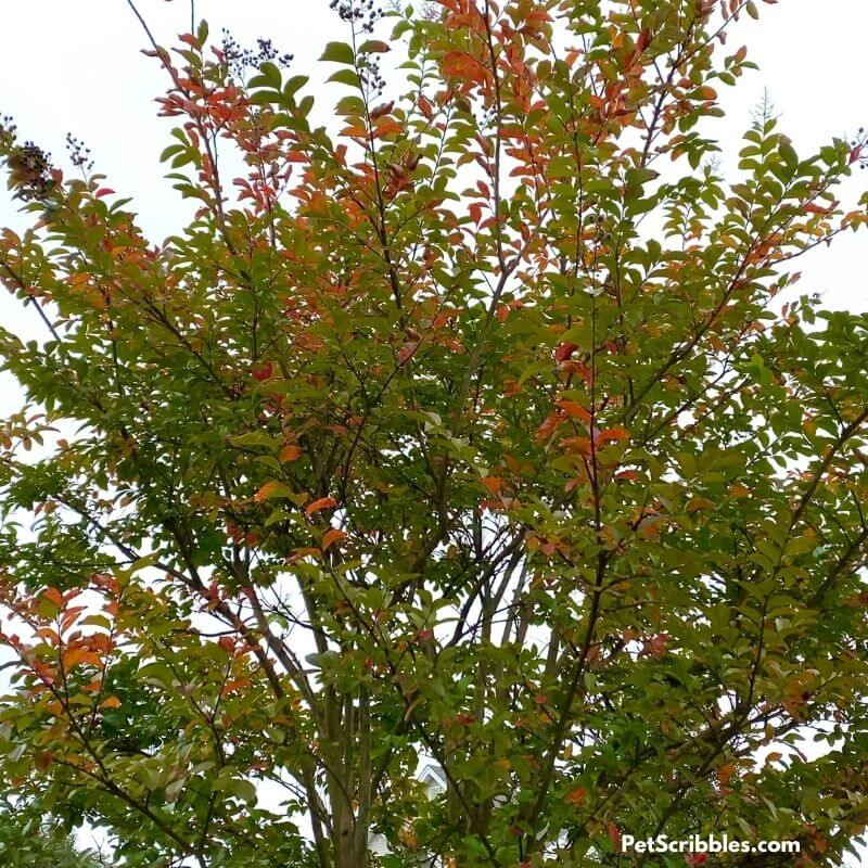 Muskogee crepe myrtle Fall color