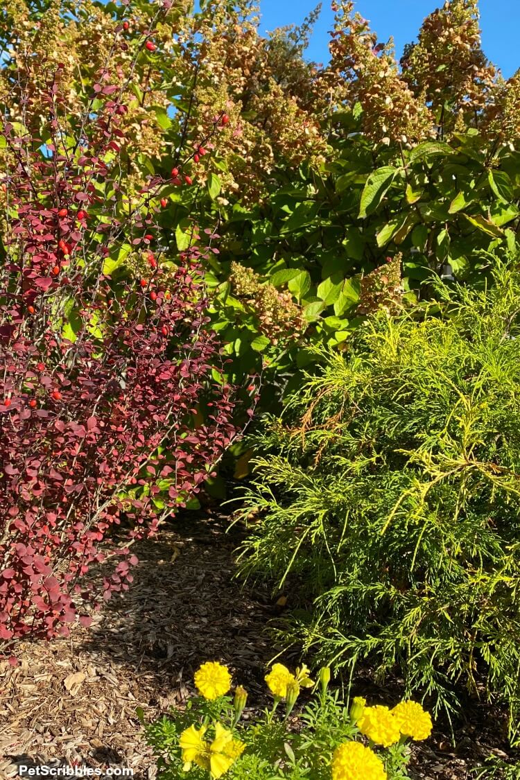 evergreens and flowering shrubs in an early Fall garden tour