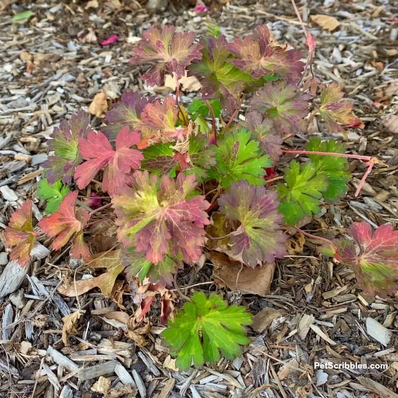 Geranium Rozanne Autumn colors