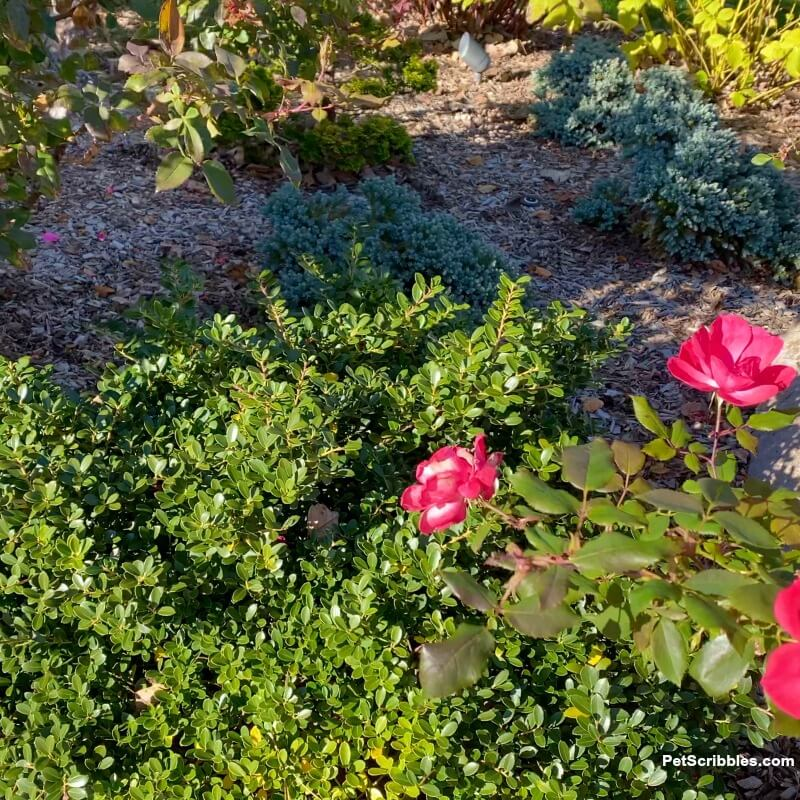 evergreen Japanese Helleri with roses in garden
