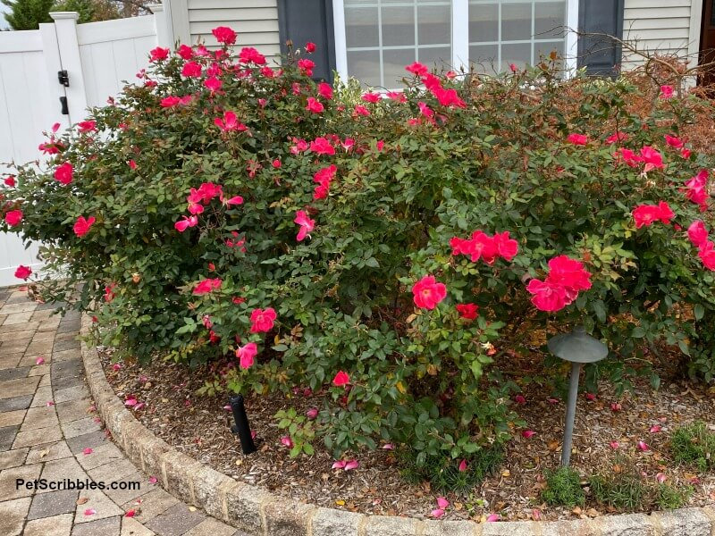 Knock Out Roses in foundation garden bed