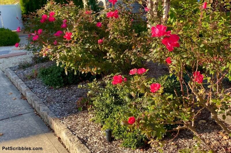 Knockout Rose shrubs blooming in Fall garden