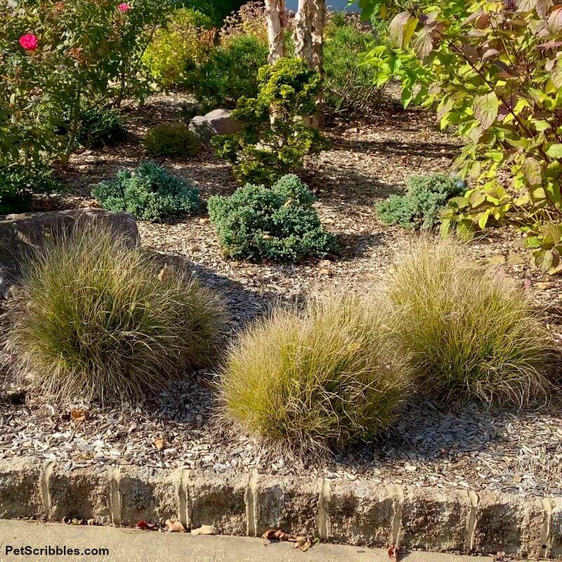 Little Bunny Grasses in a Fall garden