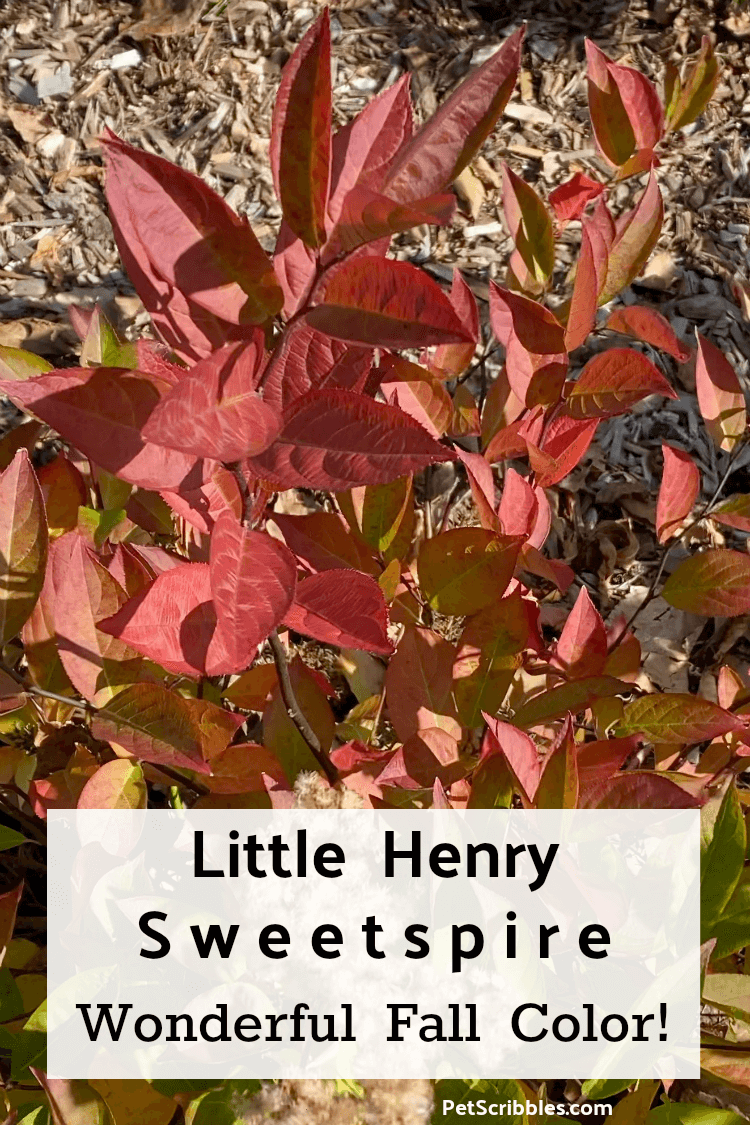 red Fall color of Little Henry Sweetspire shrub