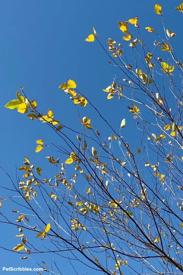 River Birch Tree golden leaves against a blue sky