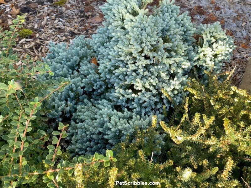 evergreen foundation plantings