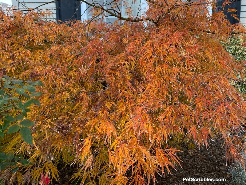 ornamental Japanese maple Fall color