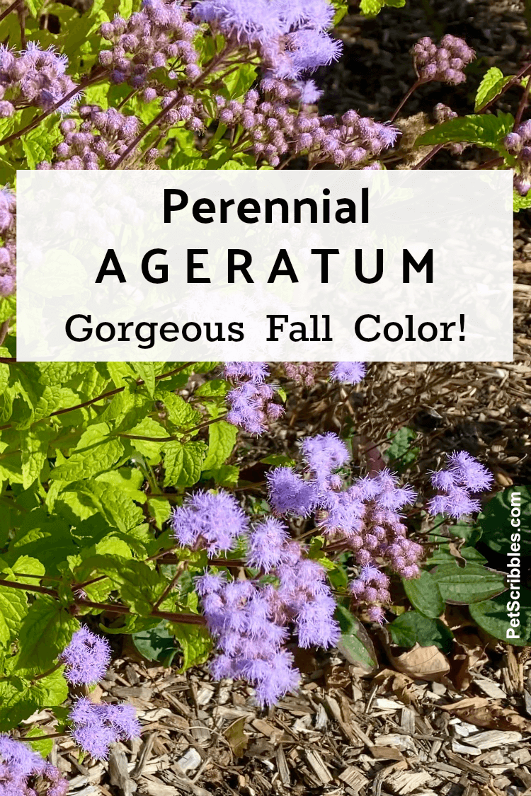 perwinkle flowers of perennial Ageratum in Fall